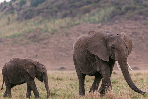 Side view of female elephant with baby elephant looking for food in savanna