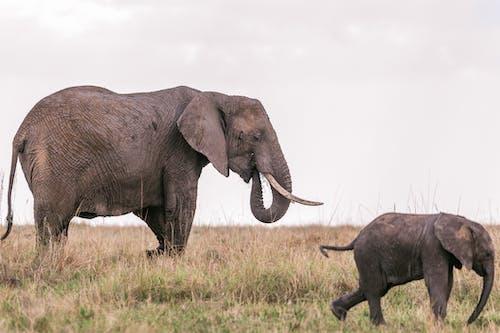 Elephant with baby in grassy savanna