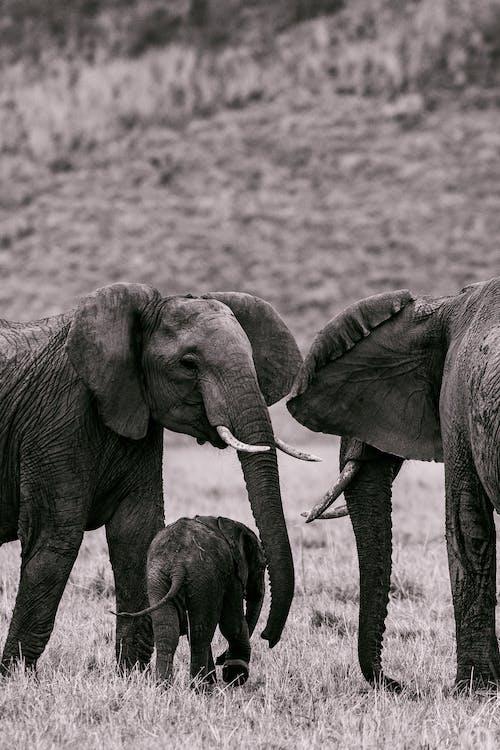 Elephants eating grass in savanna