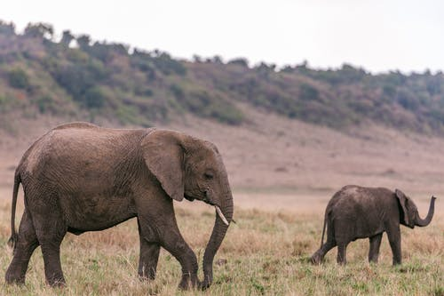 Female elephant with baby walking through grassy savanna looking for food in daytime