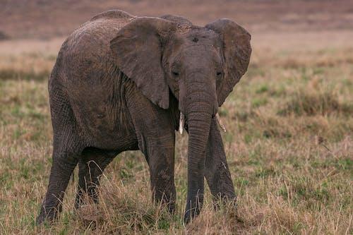Elephant standing on grassland in savanna