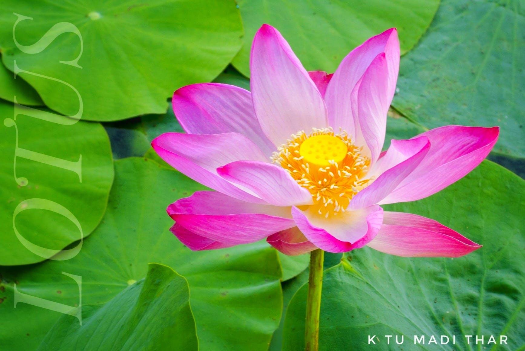 Free stock photo of flower, lotus