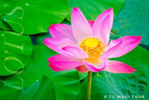 Základová fotografie zdarma na téma kytka, lotos