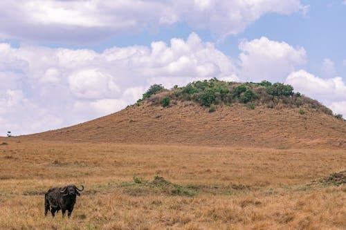 Бесплатное стоковое фото с буйвол, животное, пастбища
