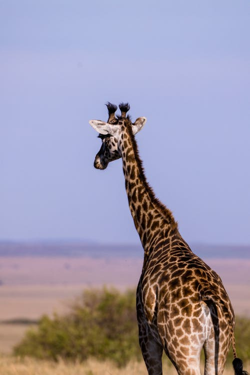 Back View Of A Giraffe