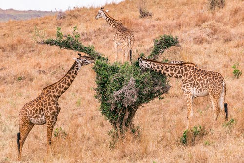 Photo of Two Giraffes on a Dry Grassland Eating Leaves
