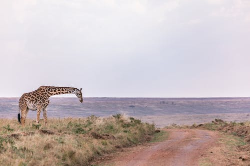 A Giraffe Standing On Grass