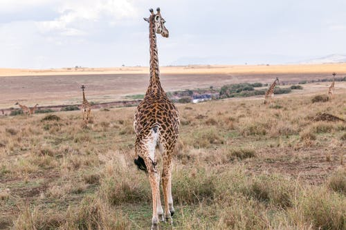 Back View of a Giraffe with a Long Neck