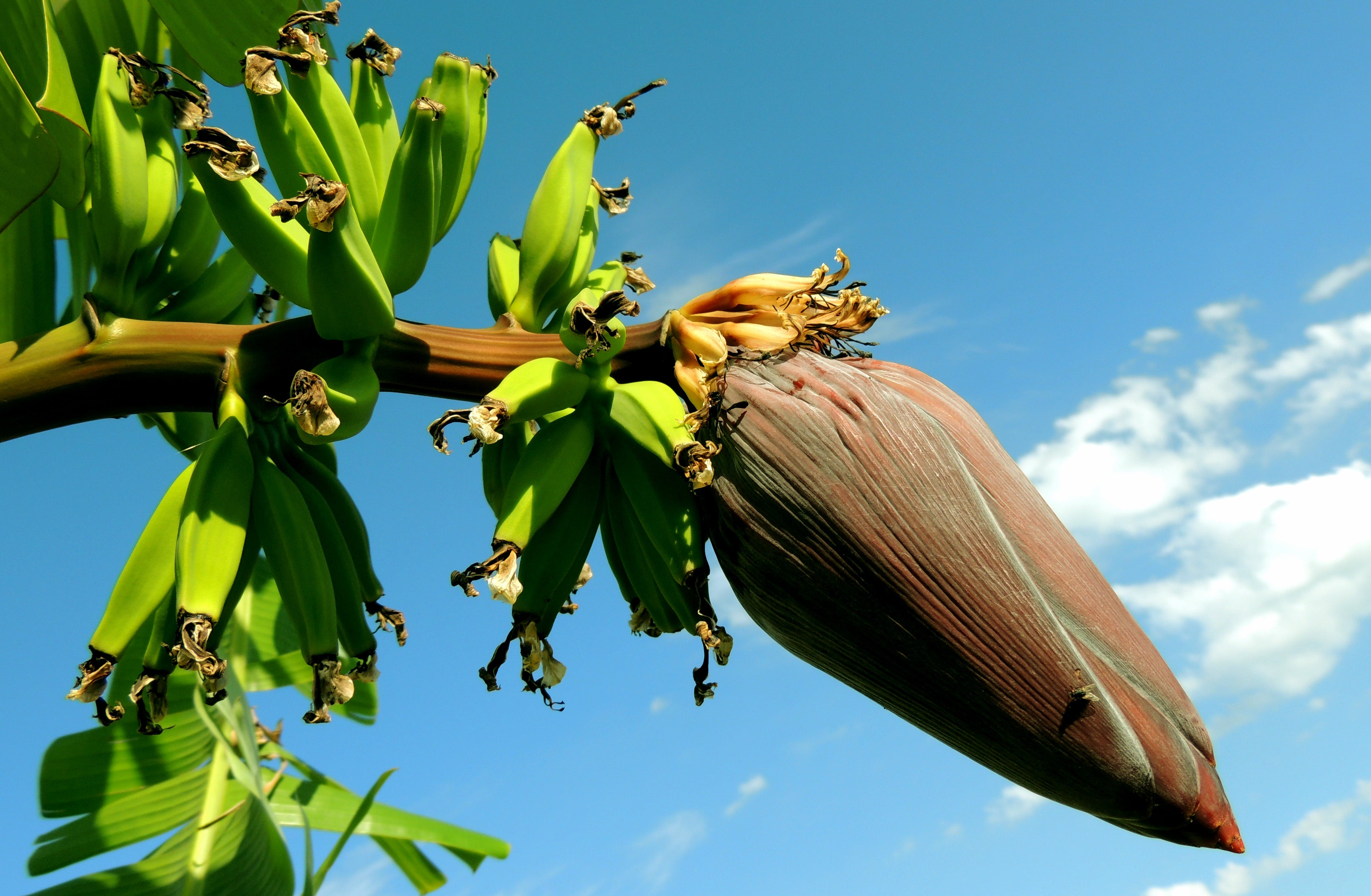 Základová fotografie zdarma na téma banánové srdce, banánovník, banánový květ, banány