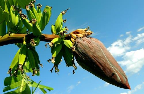 Banana Tree Under Blue Cloudy Sky
