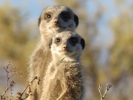 Brown and Gray Meerkat in Macro Photography