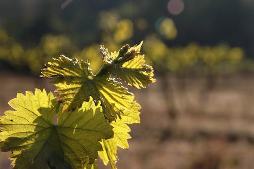 Free stock photo of green, wine leafs, wine plant