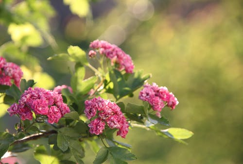 Free stock photo of hawthorne, tree blossoms