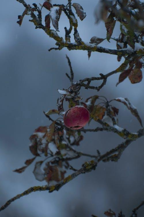 Free stock photo of apple, apple tree, autumn