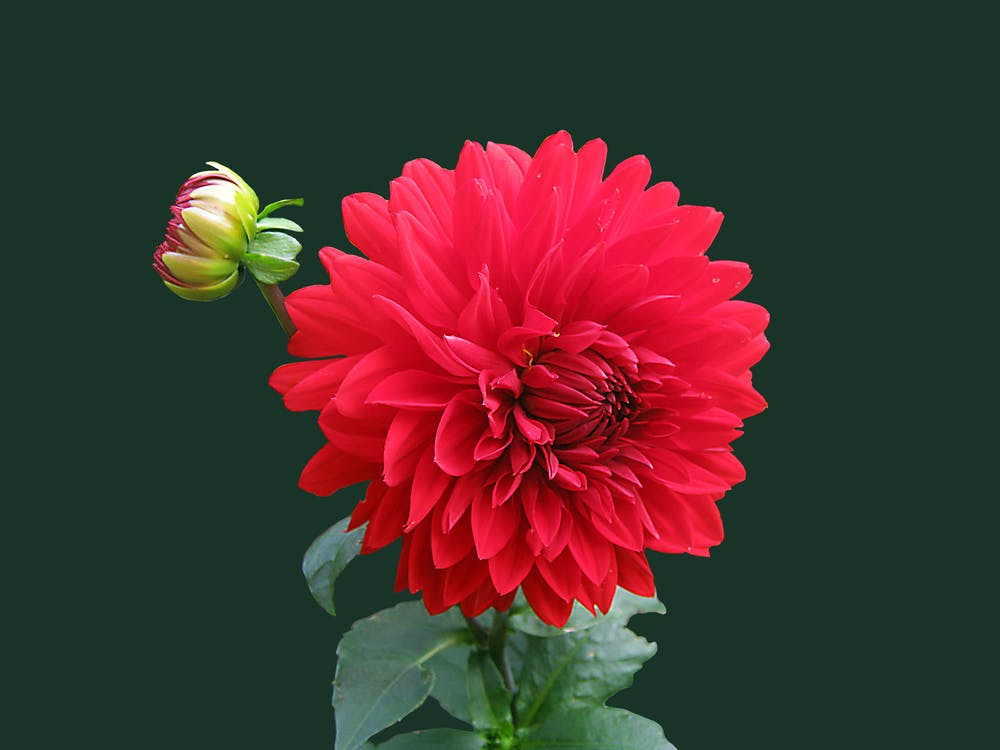 bocciolo, dalia, fiore