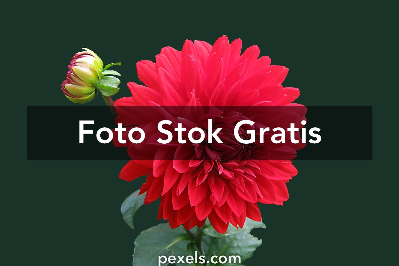 dahlia red blossom bloom 60597.jpeg?fit=crop&h=1000&mark=https%3A%2F%2Fassets.imgix.net%2F~text%3Fbg%3D80000000%26txt%3DFoto%2BStok%2BGratis%26txtalign%3Dcenter%26txtclr%3Dfff%26txtfont%3DAvenir