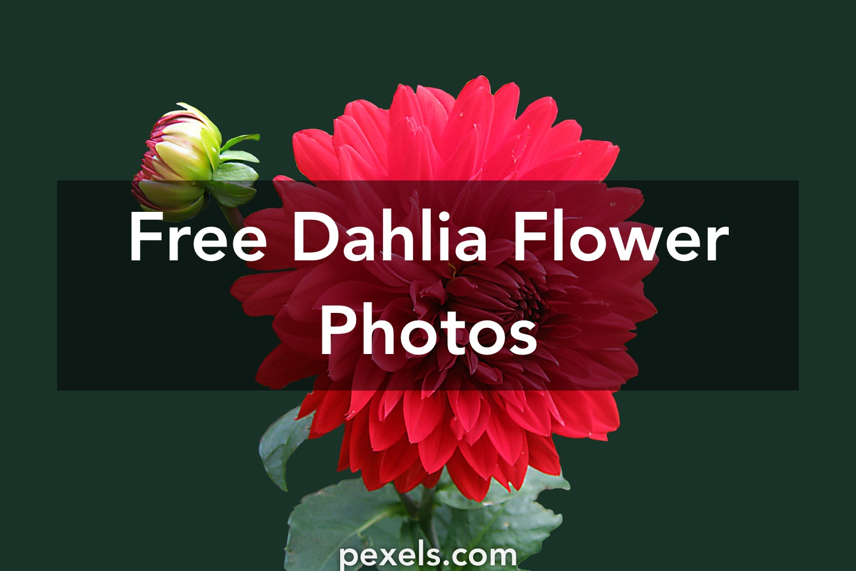 1000 Interesting Dahlia Flower Photos Pexels Free Stock Photos