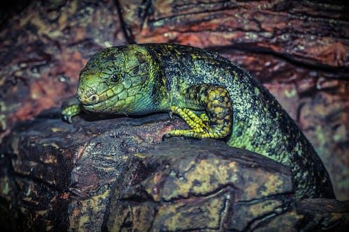 도마뱀, 동물, 바위, 자연의 무료 스톡 사진