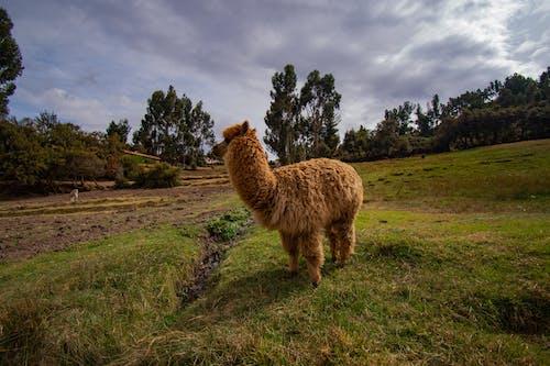 Kostenloses Stock Foto zu lama, tier, tierwelt