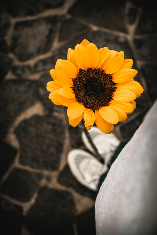Crop faceless person standing near blooming sunflower in garden