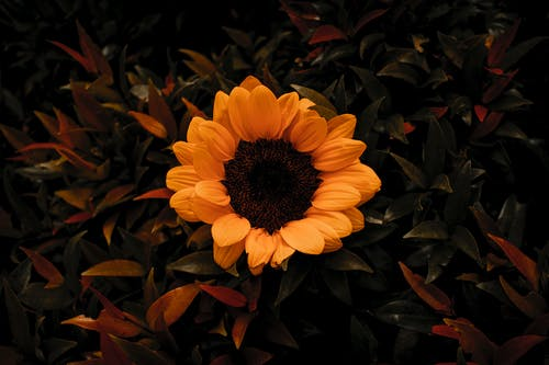 Top view fragrant delicate sunflower growing amidst lush green leaves in abundant summer garden