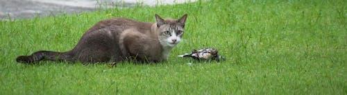 Free stock photo of cat killed bird