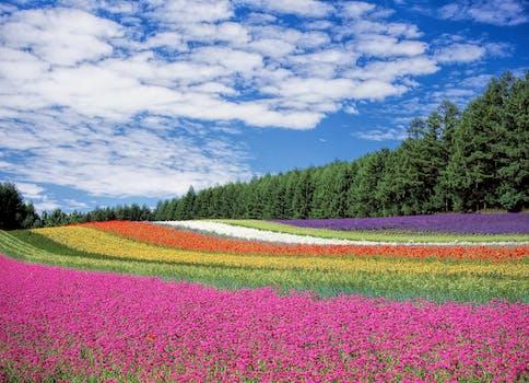بستان ورد المصــــــــراوية - صفحة 5 Flower-garden-blue-sky-hokkaido-japan-60628