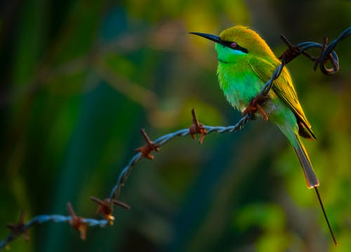 Small green bee eater on barbed wire