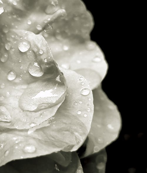 Foto profissional grátis de água, flor, gota, gotícula