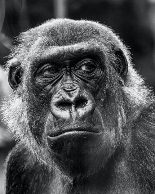 Photos gratuites de animal sauvage, faune, gorille