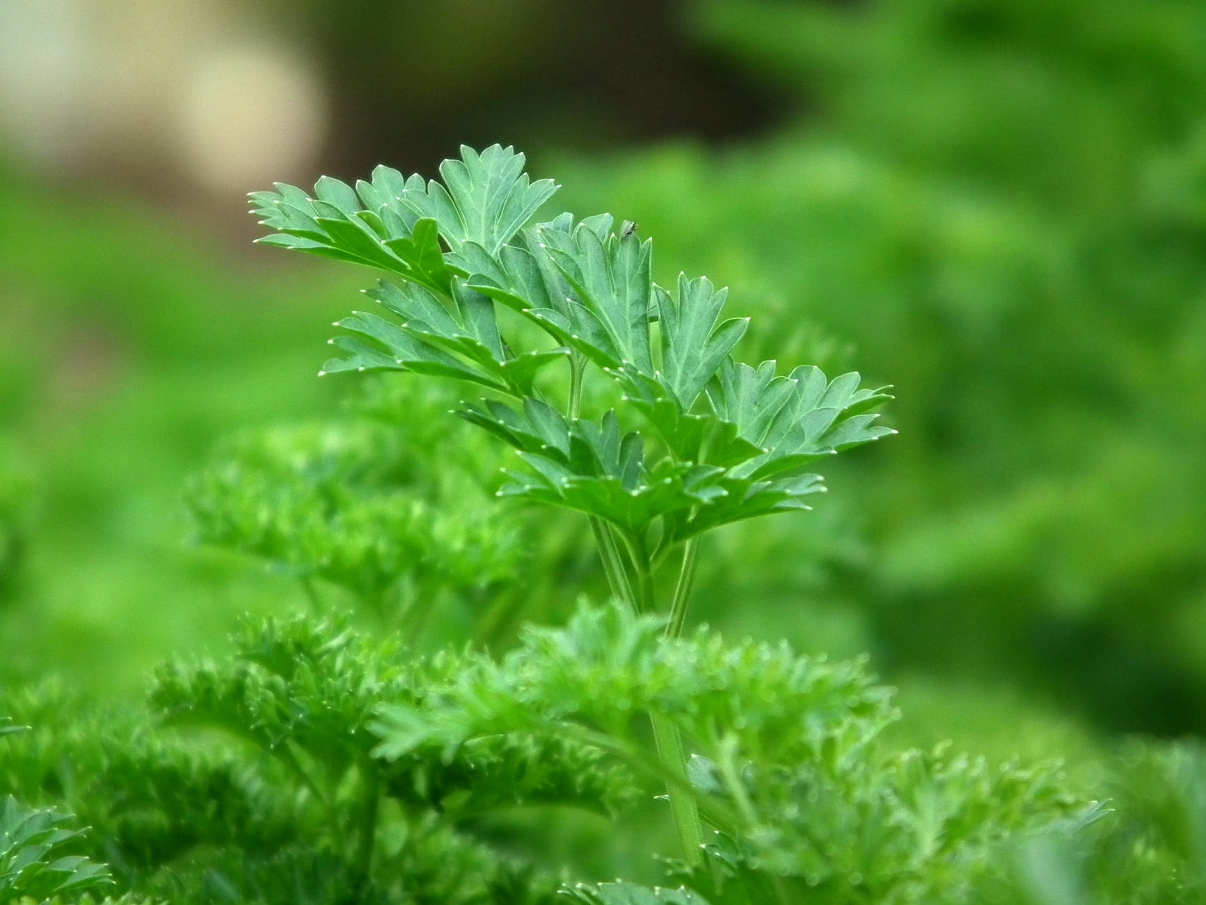 Parsley | 63 Amazing Pest And Insect Repellent For Plants You Should Know