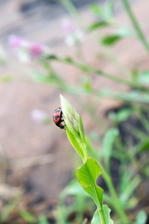 Free stock photo of coccinellidae, greenery, india, ladybird