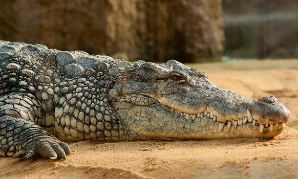 Black Crocodlie Lying on Ground