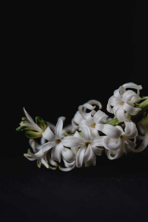 Ilmainen kuvapankkikuva tunnisteilla hyasintti, jousi, kasvikunta