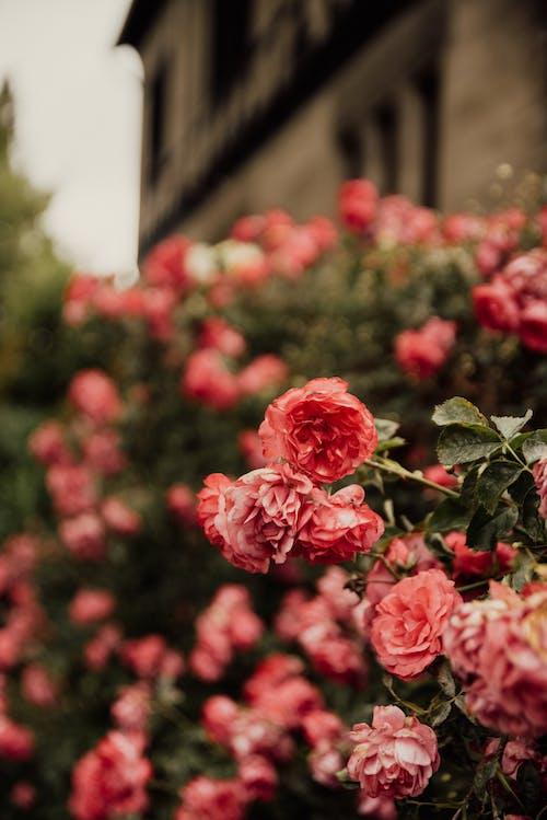 คลังภาพถ่ายฟรี ของ กลางแจ้ง, กลีบดอกไม้, การตกแต่ง