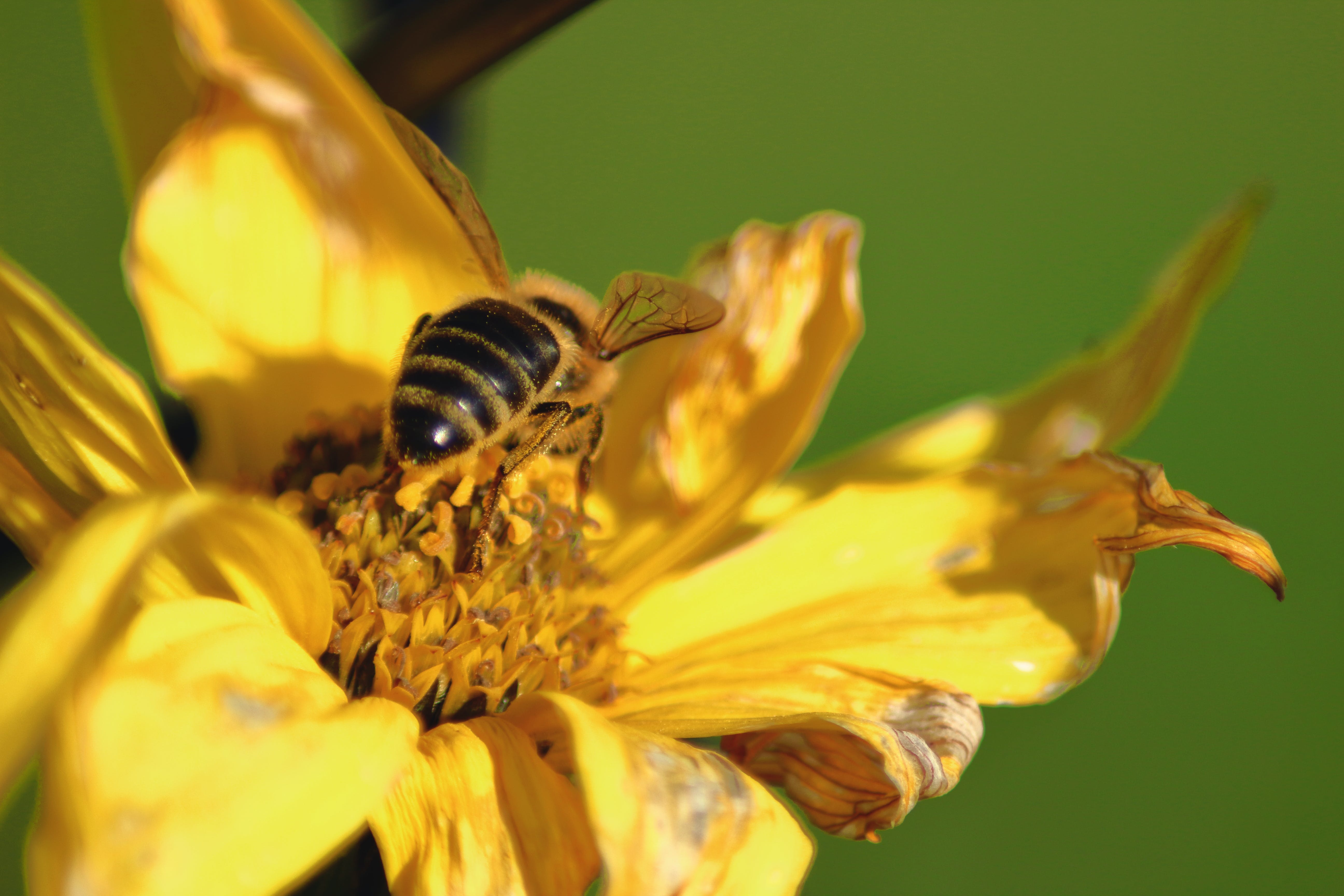 Free stock photo of flower, nature, wasp, yellow