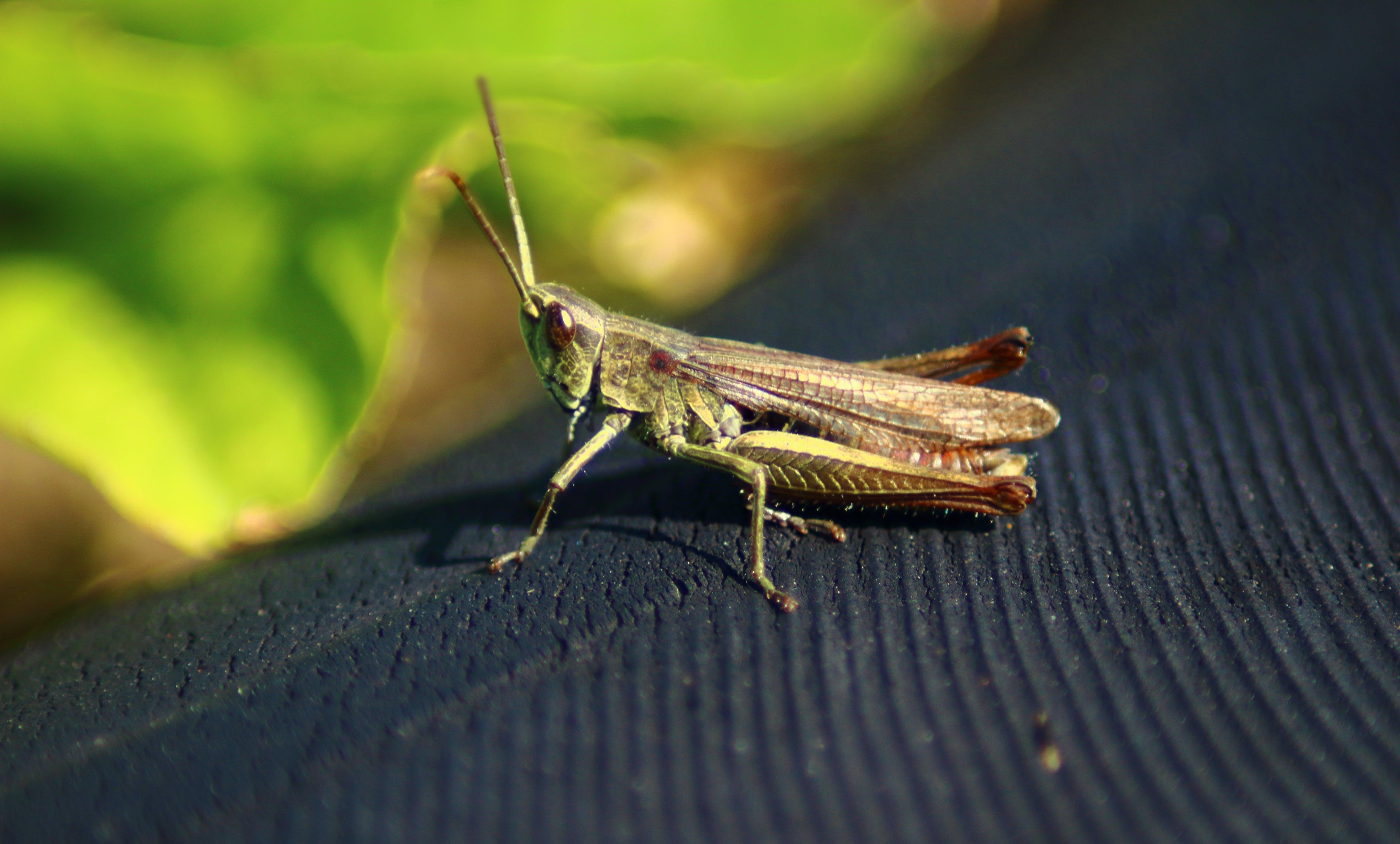 Free stock photo of grasshopper, macro