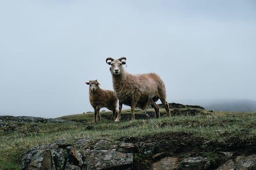 Three Brown Sheep on Green Grass Field
