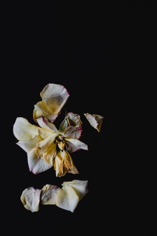 Základová fotografie zdarma na téma černé pozadí, kytka, okvětní lístky