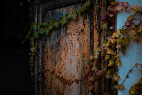 Weathered metal door with cracked paint on damaged building covered with ivy plant