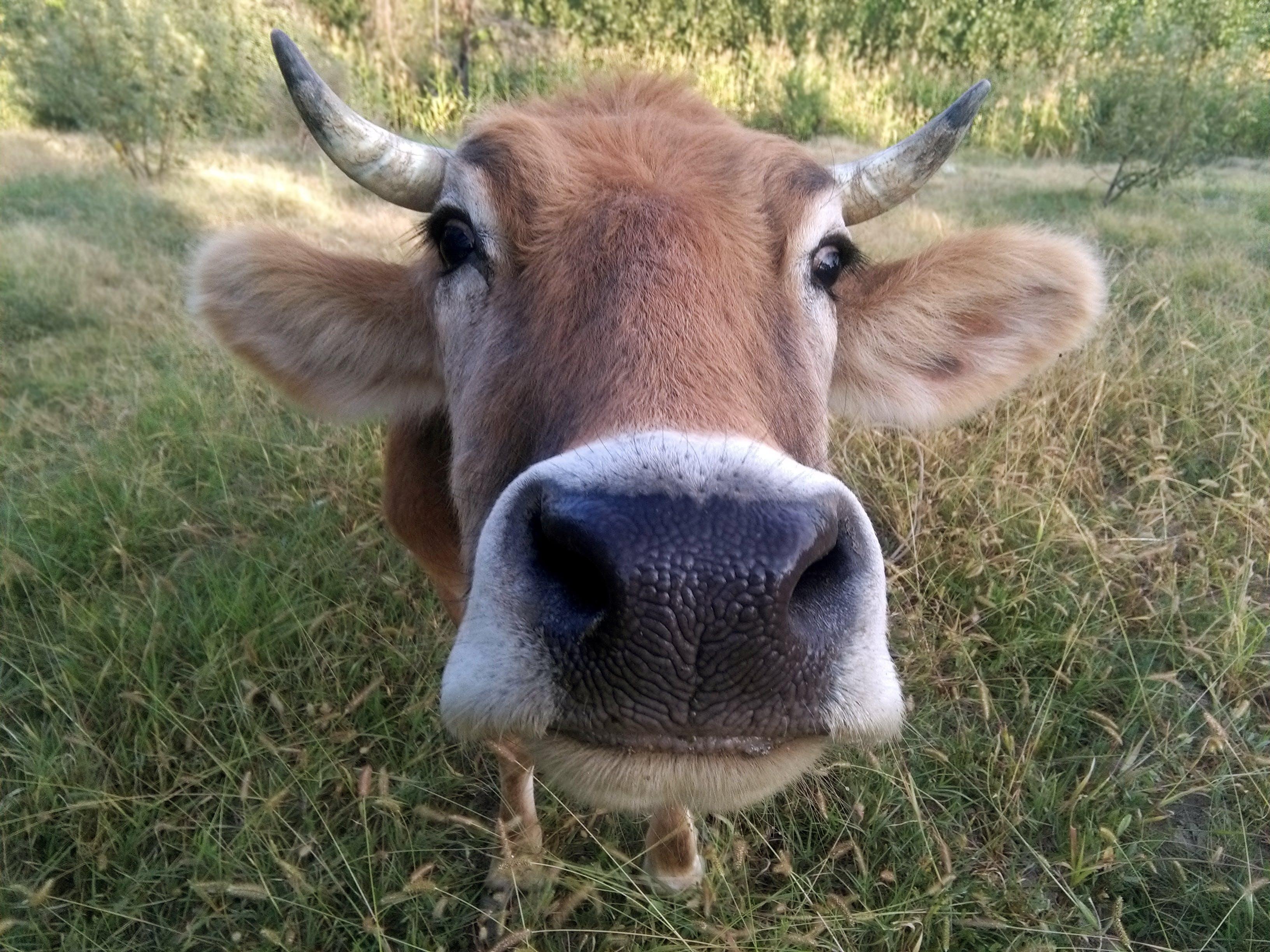 Free stock photo of cow, nature, sigir, umarjon