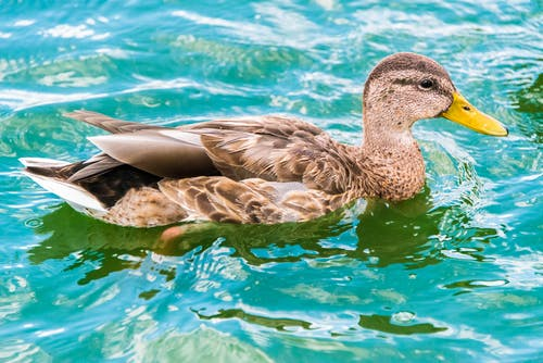 A Close-Up Shot of an American Black Duck on Water