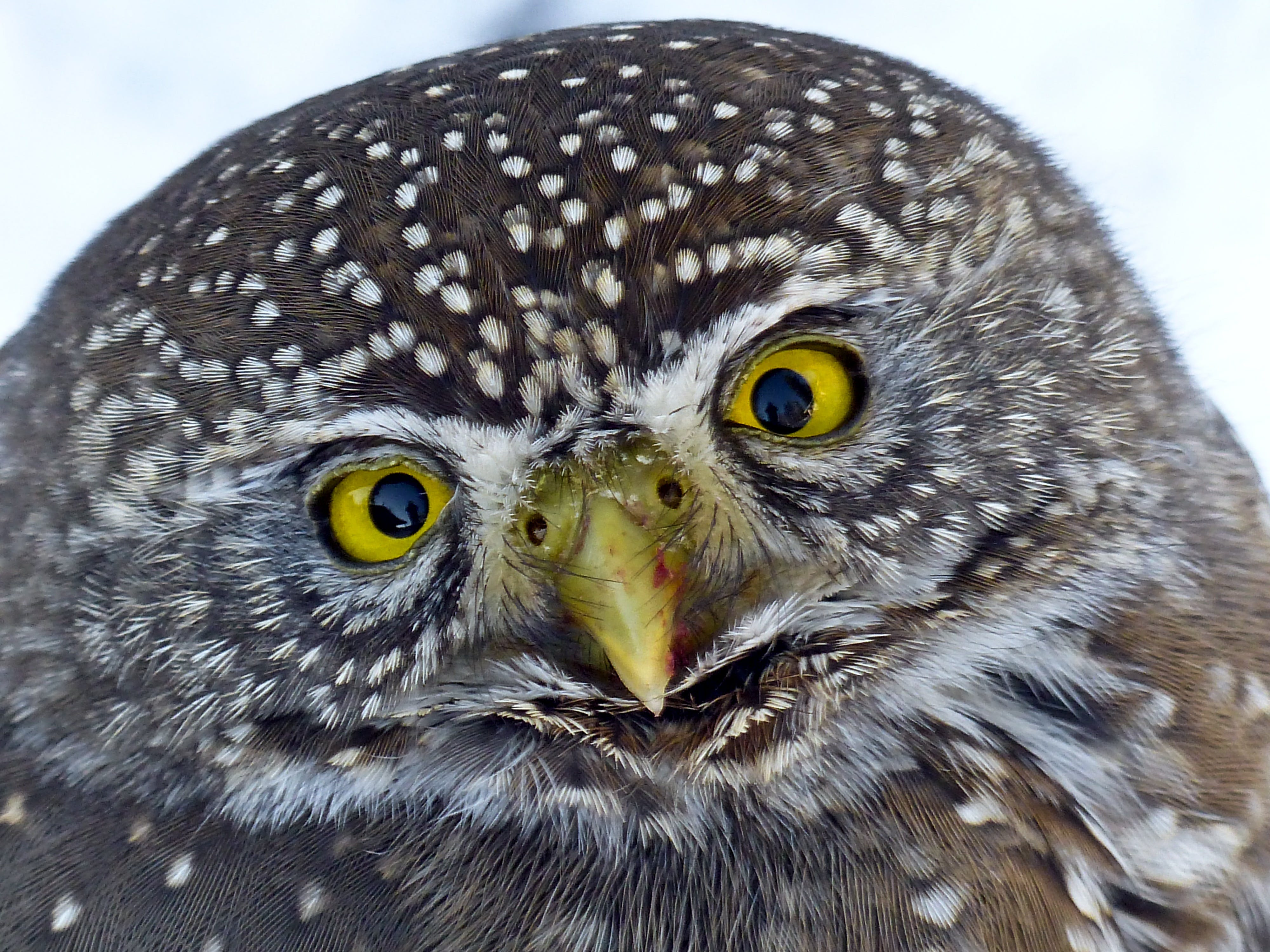 Black and Brown Winter Owl
