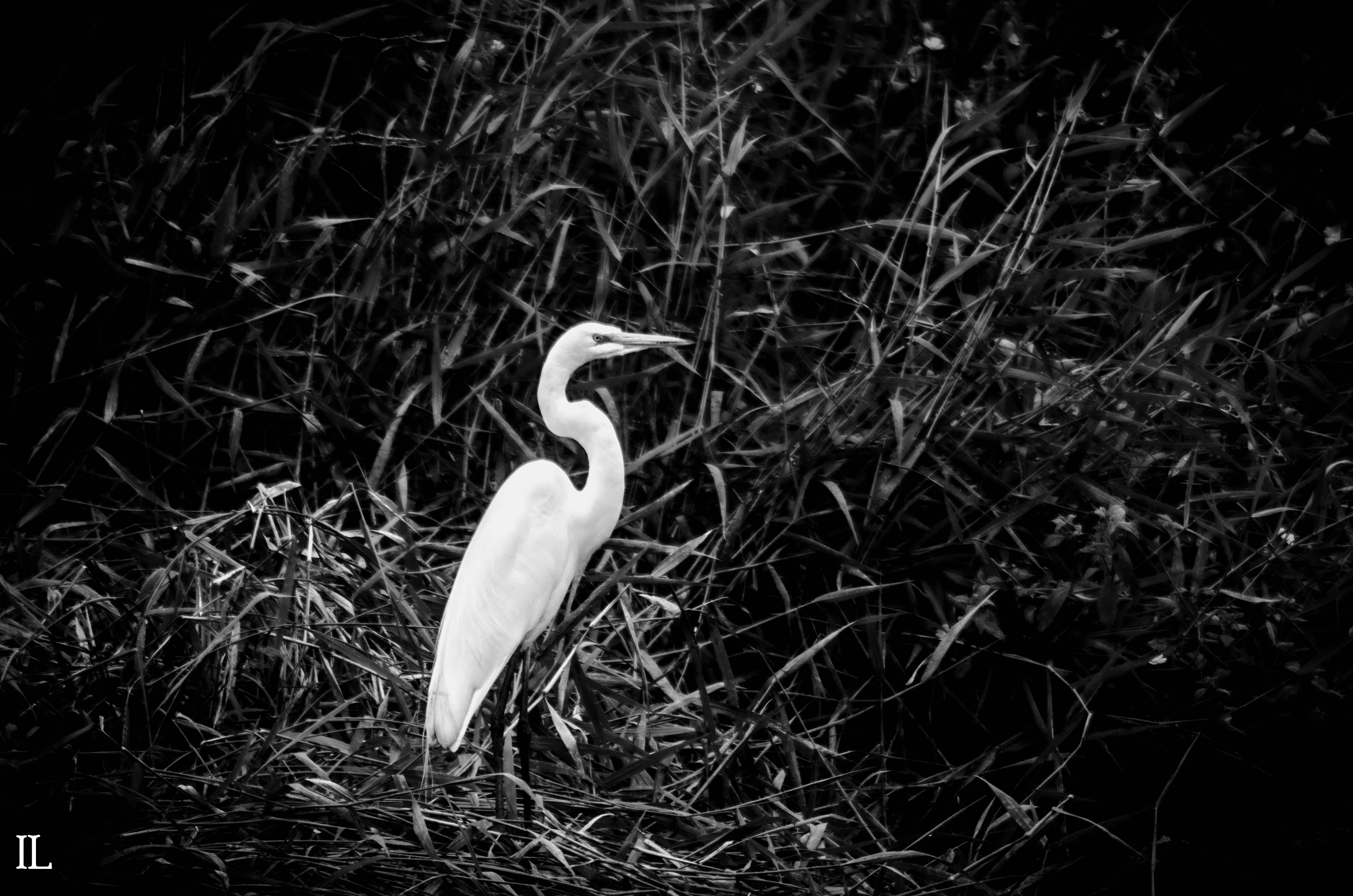 Free stock photo of black and white, egret, heron, white bird