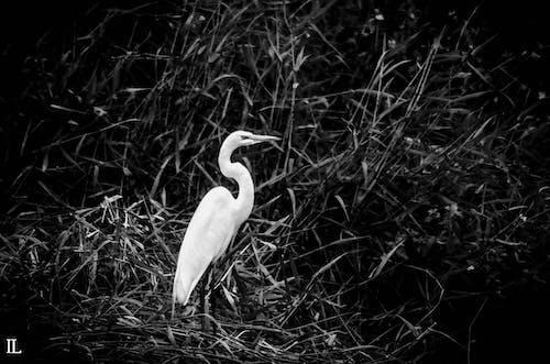 Δωρεάν στοκ φωτογραφιών με άγριο ζώο, άσπρο πουλί, ασπρόμαυρο, ερωδιός