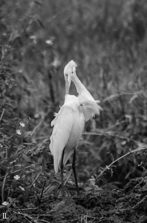 Δωρεάν στοκ φωτογραφιών με άγρια ζωή, άγριο ζώο, άσπρο πουλί, ασπρόμαυρο