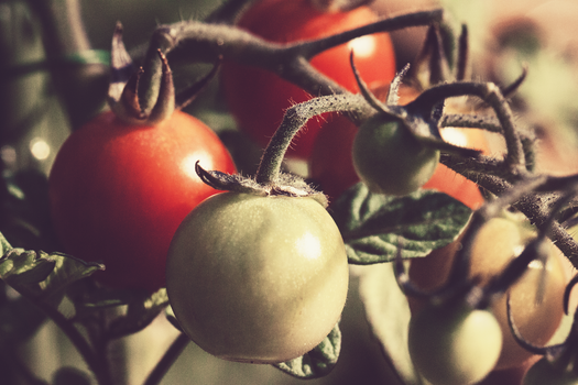 Free stock photo of food, vegetables, garden, tomatoes