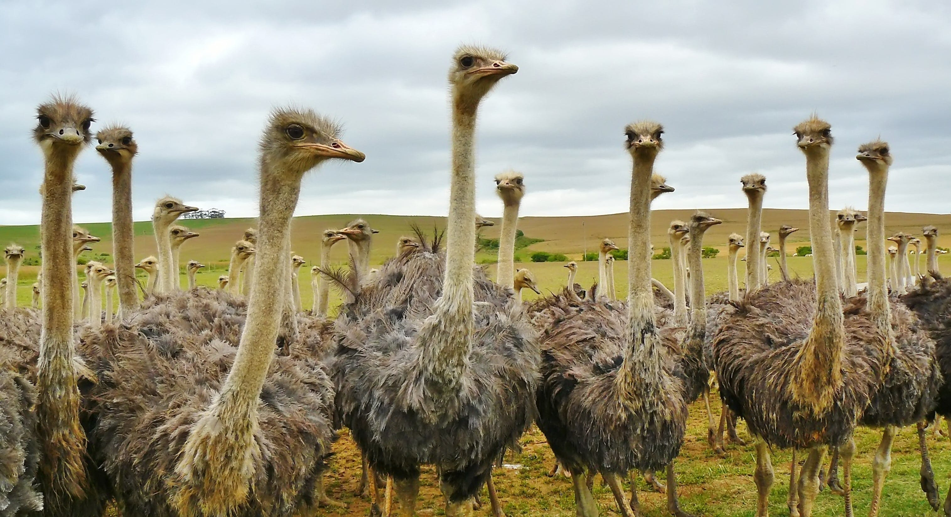 Ostrich Under White Sky