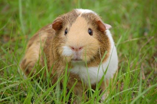 Δωρεάν στοκ φωτογραφιών με ζώο, θηλαστικό, ινδικό χοιρίδιο, κατοικίδιο