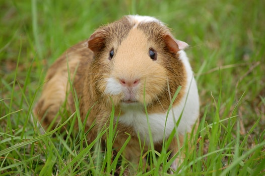 White and Brown Guinea Pig on Ground